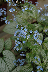 Jack Frost Bugloss (Brunnera macrophylla 'Jack Frost') at Town And Country Gardens