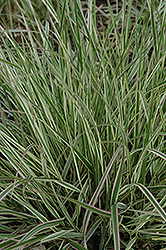 Variegated Reed Grass (Calamagrostis x acutiflora 'Overdam') at Town And Country Gardens