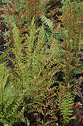 Royal Fern (Osmunda regalis) at Town And Country Gardens
