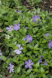 Common Periwinkle (Vinca minor) at Town And Country Gardens