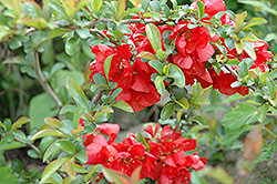Texas Scarlet Flowering Quince (Chaenomeles speciosa 'Texas Scarlet') at Town And Country Gardens