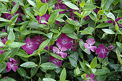 Burgundy Periwinkle (Vinca minor 'Atropurpurea') at Town And Country Gardens