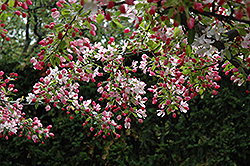 Calocarpa Zumi Flowering Crab (Malus x zumi 'Calocarpa') at Town And Country Gardens