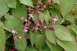 Bishop's Hat (Epimedium x rubrum) at Town And Country Gardens