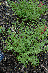 Crested Fern (Athyrium filix-femina 'Veroniae Cristata') at Town And Country Gardens
