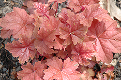 Dolce® Peach Melba Bells (Heuchera 'Peach Melba') at Town And Country Gardens