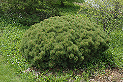 Slowmound Mugo Pine (Pinus mugo 'Slowmound') at Town And Country Gardens
