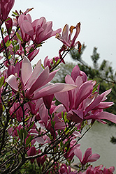 Ann Magnolia (Magnolia 'Ann') at Town And Country Gardens