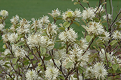 Dwarf Fothergilla (Fothergilla gardenii) at Town And Country Gardens