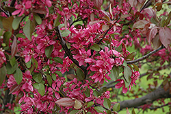 Profusion Flowering Crab (Malus 'Profusion') at Town And Country Gardens