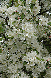 Donald Wyman Flowering Crab (Malus 'Donald Wyman') at Town And Country Gardens