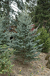 Iseli Foxtail Spruce (Picea pungens 'Iseli Foxtail') at Town And Country Gardens