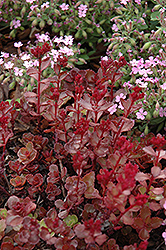 Red Carpet Stonecrop (Sedum spurium 'Red Carpet') at Town And Country Gardens