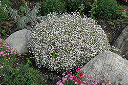 Creeping Baby's Breath (Gypsophila repens) at Town And Country Gardens