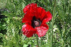 Beauty of Livermere Poppy (Papaver orientale 'Beauty of Livermere') at Town And Country Gardens