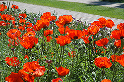 Brilliant Poppy (Papaver orientale 'Brilliant') at Town And Country Gardens