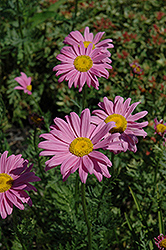 Robinson's Pink Painted Daisy (Tanacetum coccineum 'Robinson's Pink') at Town And Country Gardens