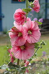 Pink Hollyhock (Alcea rosea 'Pink') at Town And Country Gardens