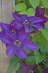 The President Clematis (Clematis 'The President') at Town And Country Gardens