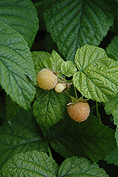 Fall Gold Raspberry (Rubus 'Fall Gold') at Town And Country Gardens