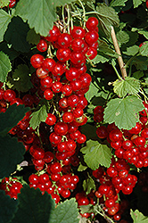 Red Lake Red Currant (Ribes sativum 'Red Lake') at Town And Country Gardens