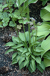 Tiny Tears Hosta (Hosta 'Tiny Tears') at Town And Country Gardens