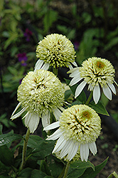 Coconut Lime Coneflower (Echinacea 'Coconut Lime') at Town And Country Gardens