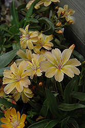 Little Peach Bitteroot (Lewisia 'Little Peach') at Town And Country Gardens
