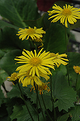Little Leo Leopard's Bane (Doronicum 'Little Leo') at Town And Country Gardens