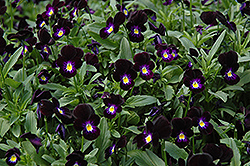 Bowles Black Pansy (Viola cornuta 'Bowles Black') at Town And Country Gardens