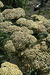 Citronella Yarrow (Achillea millefolium 'Citronella') at Town And Country Gardens