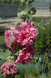 Chater's Double Pink Hollyhock (Alcea rosea 'Chater's Double Pink') at Town And Country Gardens