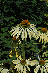 Big Sky Sunrise Coneflower (Echinacea 'Big Sky Sunrise') at Town And Country Gardens
