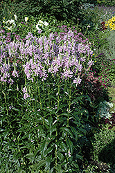 Obedient Plant (Physostegia virginiana) at Town And Country Gardens