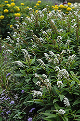 Gooseneck Loosestrife (Lysimachia clethroides) at Town And Country Gardens