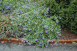 Blue Mist Caryopteris (Caryopteris x clandonensis 'Blue Mist') at Town And Country Gardens