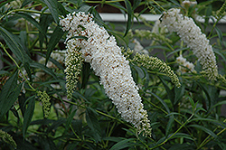Petite Snow Butterfly Bush (Buddleia davidii 'Monite') at Town And Country Gardens
