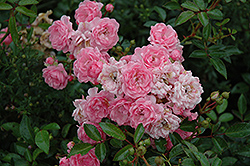 The Fairy Rose (Rosa 'The Fairy') at Town And Country Gardens
