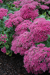 Neon Stonecrop (Sedum spectabile 'Neon') at Town And Country Gardens