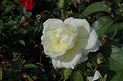 Macy's Pride™ Rose (Rosa 'BAIcream') at Town And Country Gardens