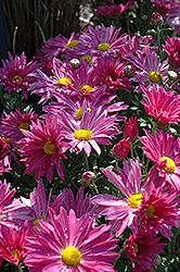 Dark Pink Daisy Chrysanthemum (Chrysanthemum 'Dark Pink Daisy') at Town And Country Gardens