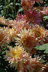 Adorable Pink Chrysanthemum (Chrysanthemum 'Adorable Pink') at Town And Country Gardens