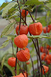 Chinese Lantern (Physalis franchetii) at Town And Country Gardens