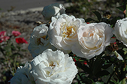Snowdrift Rose (Rosa 'BAIrift') at Town And Country Gardens