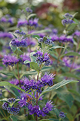 Dark Knight Caryopteris (Caryopteris x clandonensis 'Dark Knight') at Town And Country Gardens