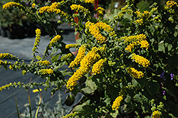 Golden Fleece Goldenrod (Solidago sphacelata 'Golden Fleece') at Town And Country Gardens