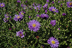 Sapphire Aster (Aster dumosus 'Sapphire') at Town And Country Gardens