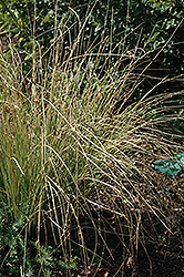 Blue Arrows Rush (Juncus inflexus 'Blue Arrows') at Town And Country Gardens