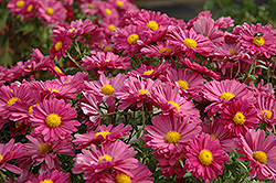 Lavender Daisy Chrysanthemum (Chrysanthemum 'Lavender Daisy') at Town And Country Gardens