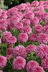 Symphony Chrysanthemum (Chrysanthemum 'Symphony') at Town And Country Gardens